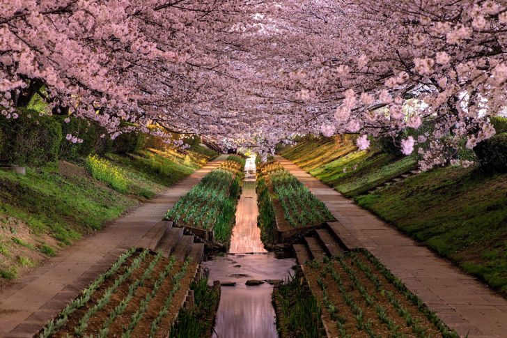 Wisteria Flower Tunnel in Japan wallpaper