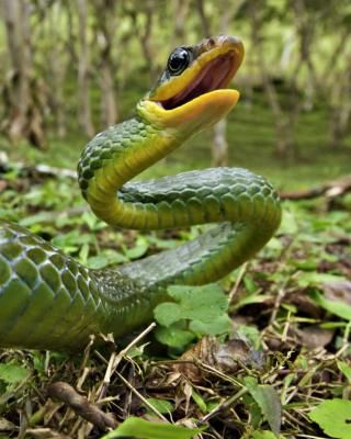 Green Snake - Obrázkek zdarma pro Nokia X1-00