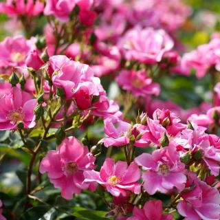 Rose bush flowers in garden - Obrázkek zdarma pro iPad 2