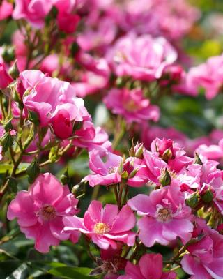Rose bush flowers in garden - Obrázkek zdarma pro Nokia C5-03