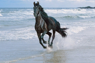 Free Black Horse Picture for Android, iPhone and iPad