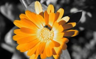 Golden Flower - Obrázkek zdarma pro 720x320