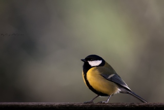 Yellow Bird Background for Android, iPhone and iPad