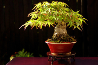 Bonsai Tree Wallpaper for Android, iPhone and iPad
