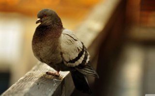 Fat Dove Wallpaper for Android, iPhone and iPad