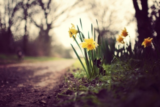 Daffodils Wallpaper for Android, iPhone and iPad