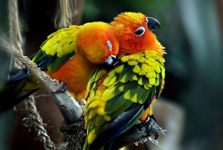 Parrot Hug Wallpaper for Android, iPhone and iPad