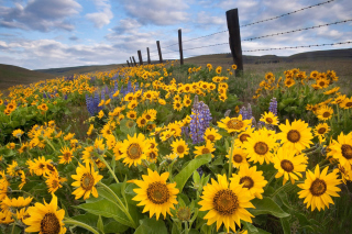 Free Wild Sunflowers Picture for Android, iPhone and iPad