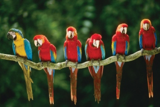 Free Green Winged Macaw Picture for Android, iPhone and iPad