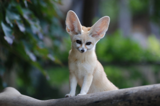 Fennec Fox Background for Android, iPhone and iPad