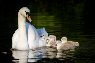 Swan and Swanling Wallpaper for Android, iPhone and iPad