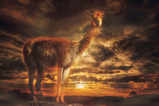 Free Llama Picture for Android, iPhone and iPad