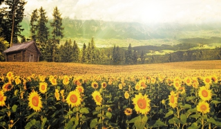 Sunflowers And Wooden Hut Picture for Android, iPhone and iPad