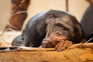 Sad Monkey - Obrázkek zdarma pro Samsung Galaxy Q