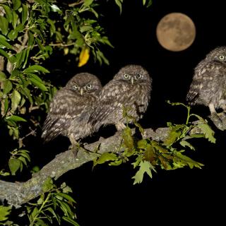 Athene Owl - Obrázkek zdarma pro 1024x1024