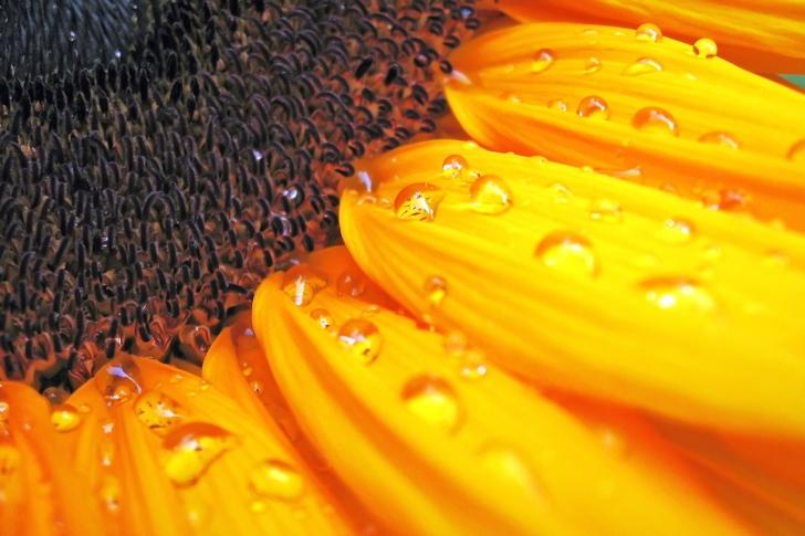 Sunflower Close Up wallpaper