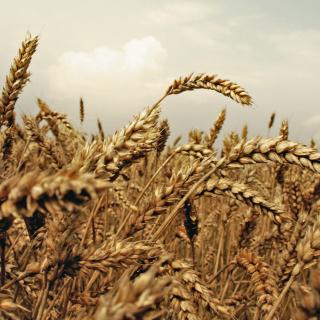 Wheat field - Obrázkek zdarma pro iPad 2