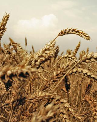 Wheat field - Obrázkek zdarma pro Nokia X1-00
