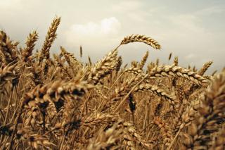 Wheat field - Obrázkek zdarma pro 800x480
