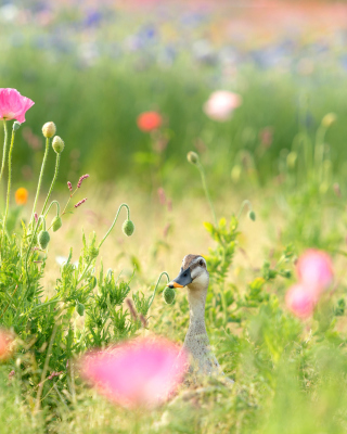 Duck on Meadow - Obrázkek zdarma pro 240x400