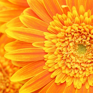 Amazing Orange Gerbera - Obrázkek zdarma pro 128x128