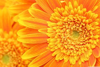 Amazing Orange Gerbera Wallpaper for Android, iPhone and iPad