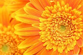 Amazing Orange Gerbera - Obrázkek zdarma pro Samsung Galaxy S II 4G