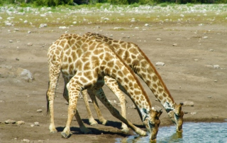 Free Giraffes Drinking Water Picture for Android, iPhone and iPad