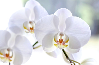 White Orchid Background for Android, iPhone and iPad