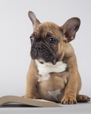 Pug Puppy with Book - Obrázkek zdarma pro Nokia C-5 5MP