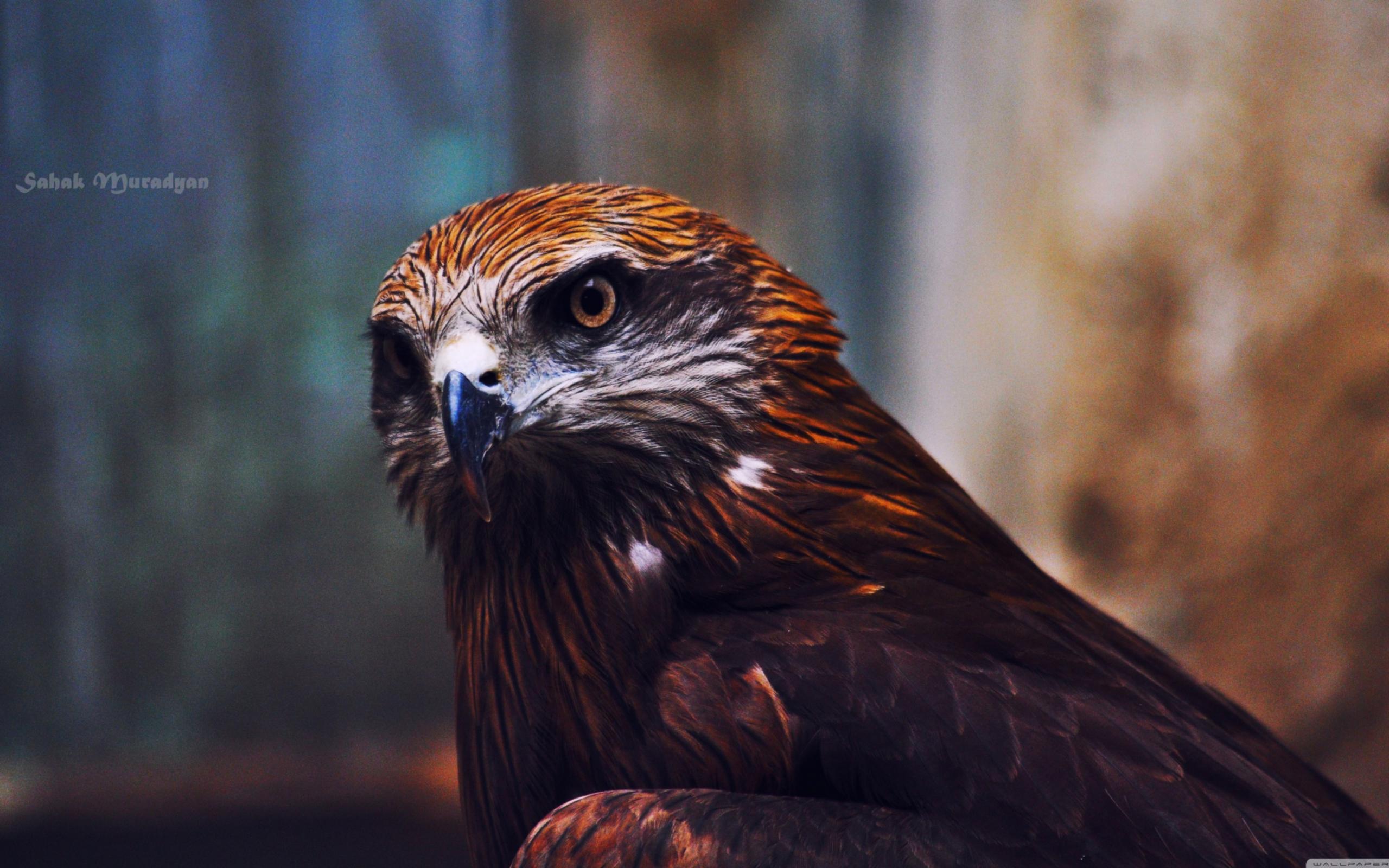 ястреб hawk  № 20892  скачать