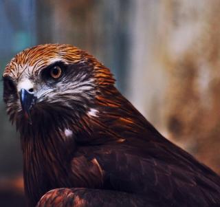 Eagle - Obrázkek zdarma pro 128x128