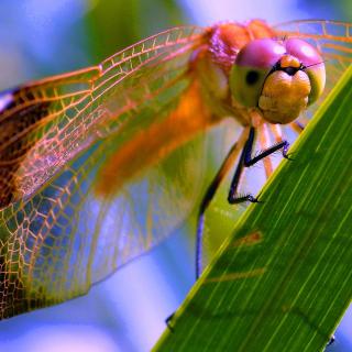 Dragonfly - Obrázkek zdarma pro 208x208