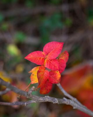 Macro Autumn Leaf - Obrázkek zdarma pro Nokia Asha 308