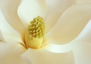 Magnolia Blossom Wallpaper for Android, iPhone and iPad