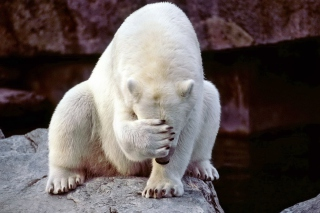 Facepalm Bear Picture for Android, iPhone and iPad