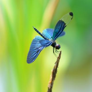 Blue dragonfly - Obrázkek zdarma pro 208x208