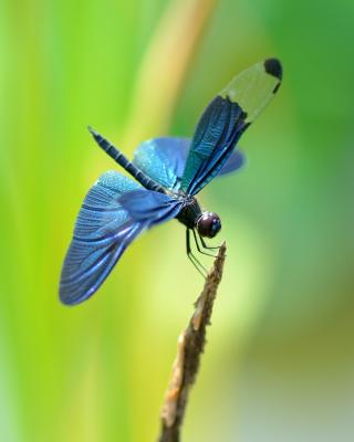 Blue dragonfly - Obrázkek zdarma pro 320x480