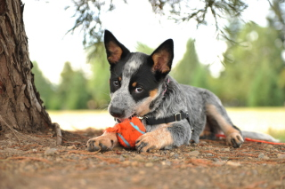 Puppy And Tennis Ball Wallpaper for Android, iPhone and iPad