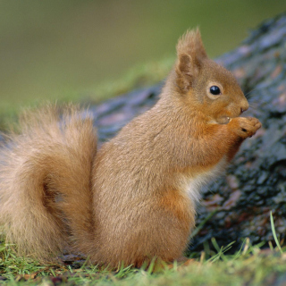 Squirrel - Obrázkek zdarma pro iPad 3