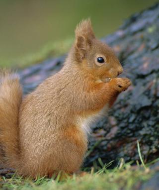 Squirrel - Obrázkek zdarma pro Nokia Lumia 800