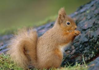 Squirrel - Obrázkek zdarma pro Samsung I9080 Galaxy Grand