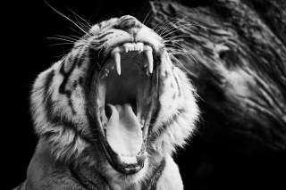 Free Black and White Tiger Picture for Android, iPhone and iPad