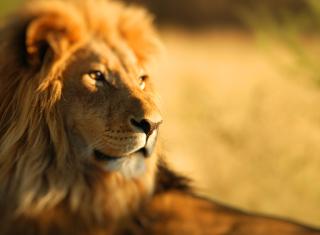 King Lion - Obrázkek zdarma pro Fullscreen Desktop 1024x768