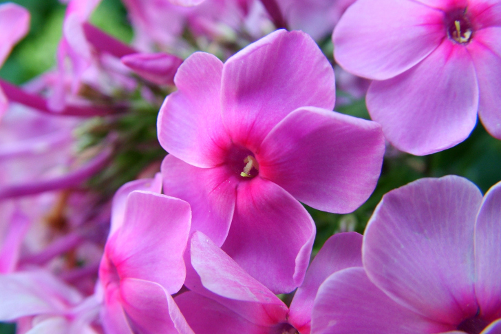 Phlox pink flowers wallpaper