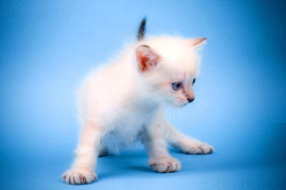 Free Small Kitten Picture for Android, iPhone and iPad