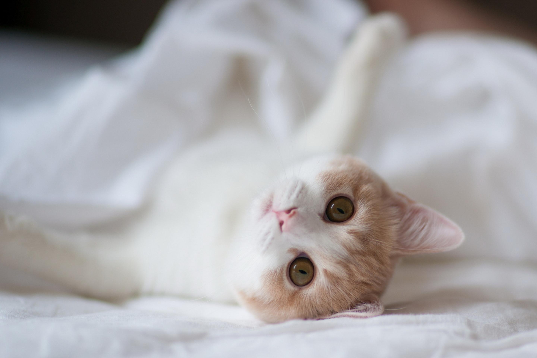 кошка зеленые глаза постель  № 3655537 загрузить