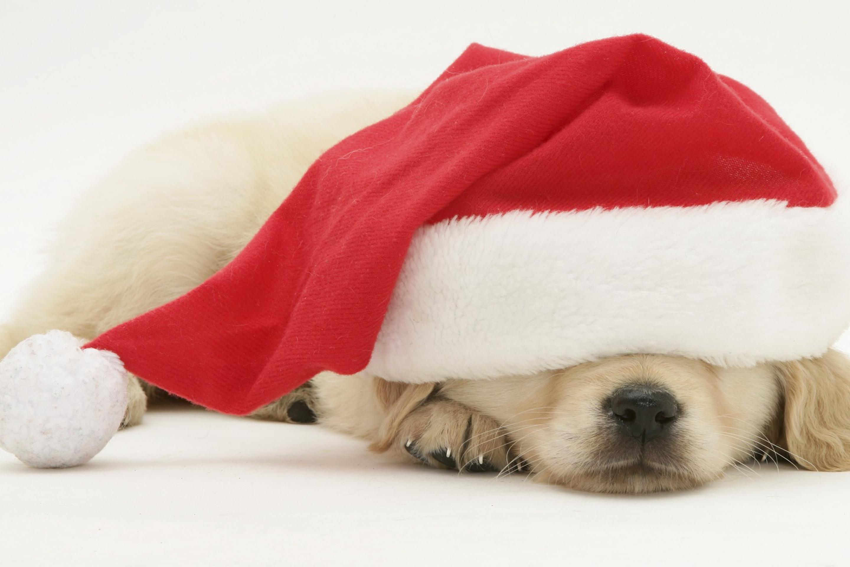 собачка в новогодней шапочке  № 1301954  скачать