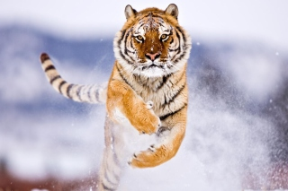 Amur Tiger Wallpaper for Android, iPhone and iPad