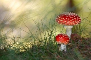 Red Mushrooms - Obrázkek zdarma pro 1920x1200